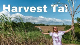 AMERICAN HARVESTING SUGARCANE In The PHILIPPINES // Philippines Travel Vlog