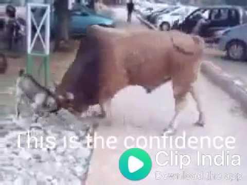 Xxx Mp4 Big Bull Vs Goat 🐐 Hehe Funny 3gp Sex
