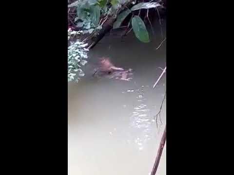 Xxx Mp4 Video Buaya Hantar Mangsa Ke Tebing Sungai Untuk Penduduk 3gp Sex