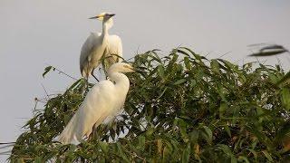 Bogoli | boga boga bogoli | great white egret | heron bird | egret bird | sanctuary