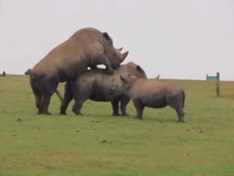 Xxx Mp4 HD Rhino Mating At Whipsnade Zoo With Baby Rhino Watching Classic 3gp Sex
