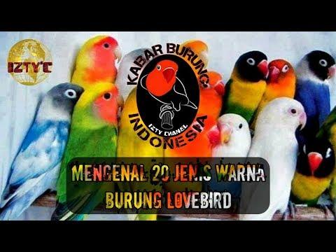 Ingin Tahu Nama Jenis Lovebird Berdasarkan Warna dan Harganya | IZTY Chanel