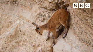 Baby ibex's dramatic decent - Planet Earth II: Mountains Preview - BBC One