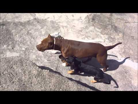 Bull Terrier x pit bull 2011 bob x zurya dogs mating.wmv