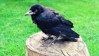 Pet Crow's First Summer