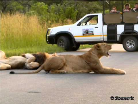 Lions mating twice (full version)