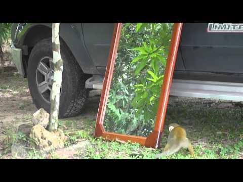 macaco briga com ele mesmo no espelho