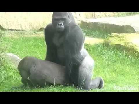 Xxx Mp4 Gorilla Sex 3gp Sex