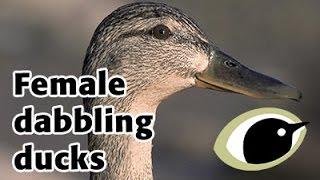 BTO Bird ID - female dabbling ducks
