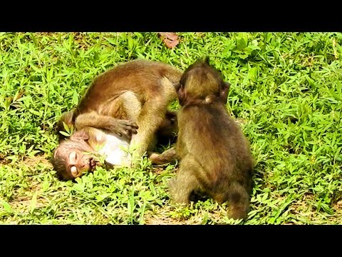 Ouch! Look Like They Biting Baby Lori Hard| Very Hard For Lori They Stepping On By Many Baby Monkeys