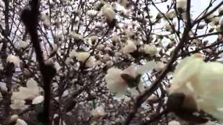 flowering tree near magnolia field