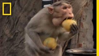 Monkey Thieves Raid People