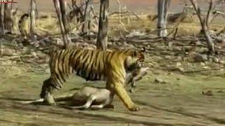 Royal bengal tiger hunted spotted deer in Bandhavgarh tiger reserve (M.P), 2k17 | shockwave