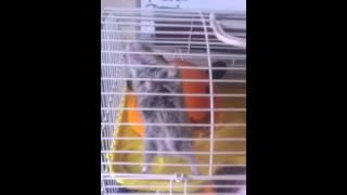 Russie hamster aerialist