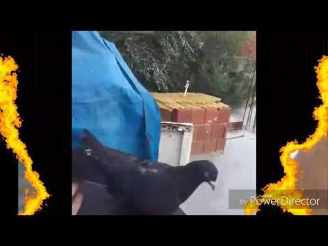 Taklacı güvercin tik tok videosu