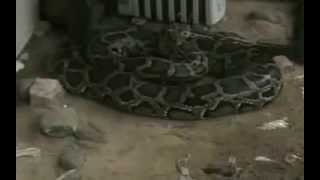 Cobra Gigante,Cobra Pitom