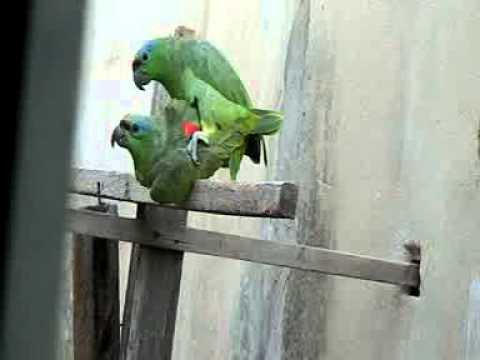 Papagaios Louro e Bela acasalando