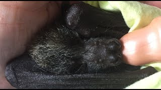 Baby bat goes into a milk coma:  this is Sassafras