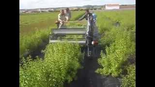 Máquina de colheita Plantas aromáticas medicinais
