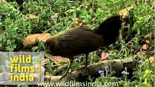 Red Junglefowl female among floss flower
