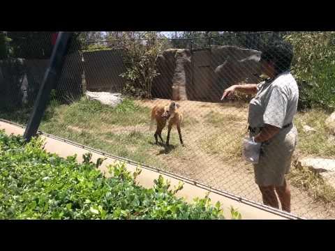 Maned Wolf eating mice