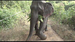Journey of rescued elephant Kabu