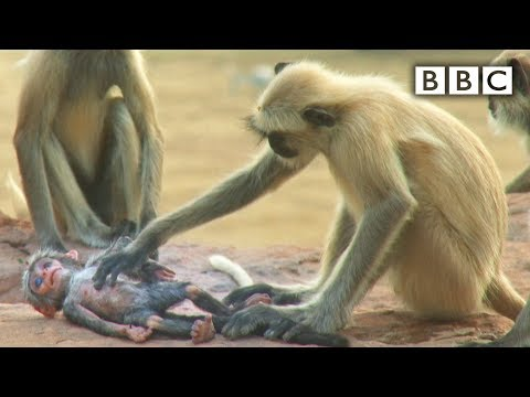 Langur monkeys grieve over fake monkey - Spy in the Wild: Episode 1 Preview - BBC One