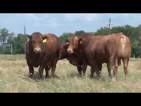 Beefmaster Bulls The Best of Both Worlds