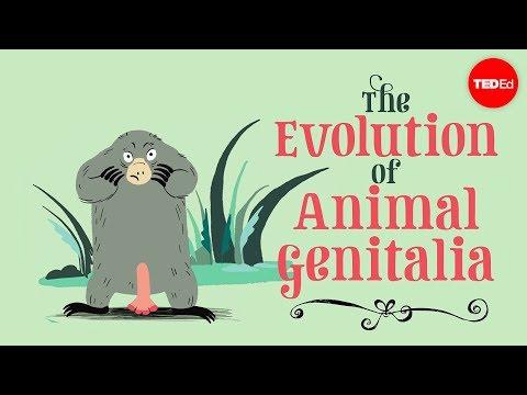 The evolution of animal genitalia Menno Schilthuizen