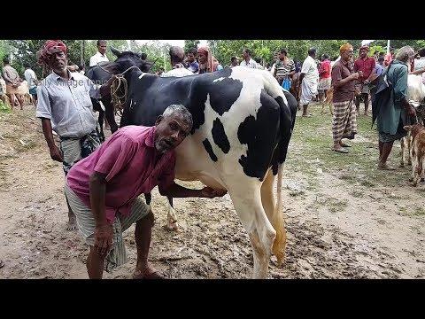 Xxx Mp4 618।কম দামে উন্নত জাতের অনেক গাভি ও বাচ্চা গরুর দাম দেখুন।Top 10 Cow Videos 2018 3gp Sex