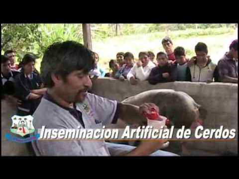 Inseminacion Artificial de Cerdos