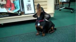 Henry the Dachshund Crying for Mommy
