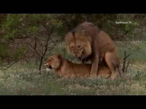 Lion mating ritual up close
