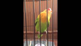 Lovebird Ngekek Panjang # Si Lamborgini ( Di Rumah) Download Mp3 Mp4 3GP HD Video