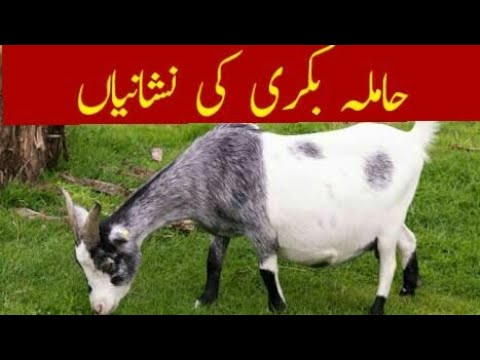 Xxx Mp4 Pregnant Goat Signs حاملہ بکری کی نشانیاں 3gp Sex