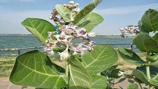इस पौधे का हर अंग दवा ये बाहर निकले पेट को कम तो गठिया 21 दिन में समाप्त दूध उड़े बालों को उगा देता
