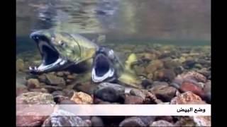 هجرة اسماك السلمون لتضع البيض في نفس النهر الذي فقست فيه   عجائب الكون