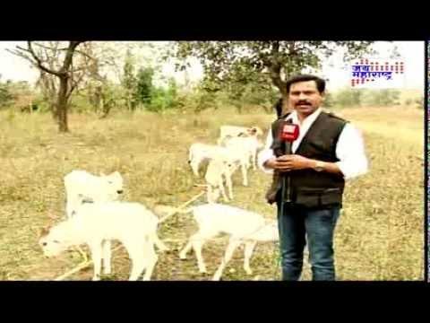 Wardha Bor cow