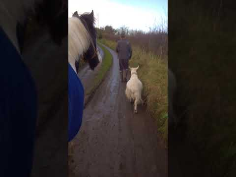 Xxx Mp4 Gypsy Cob Paddy Walking To His Field With His Goat Wife Jenny Xxx 3gp Sex