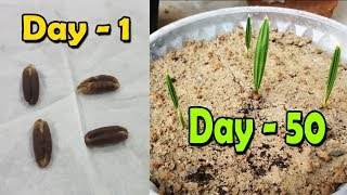 DATE SEED GERMINATION | How to Grow Date Palm Tree from Seed | Date Palm Plant - Sprouting Seeds