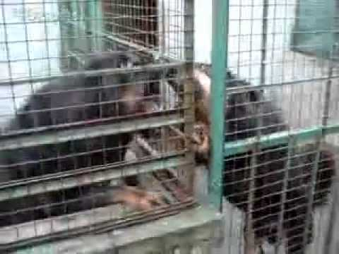 Tibetan Mastiff fight dog