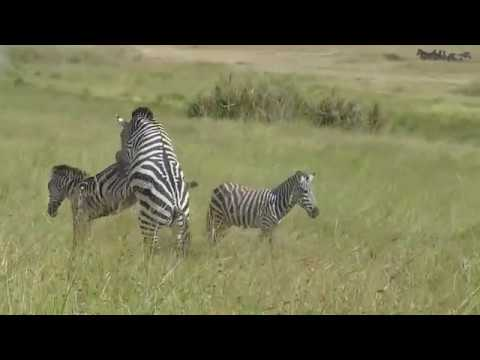 Xxx Mp4 Attempted Zebra Matting Video In Serengeti National Park Tanzania 3gp Sex
