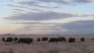 Bison at Rancho Uno, Janos, Copper Canyon, Mexico