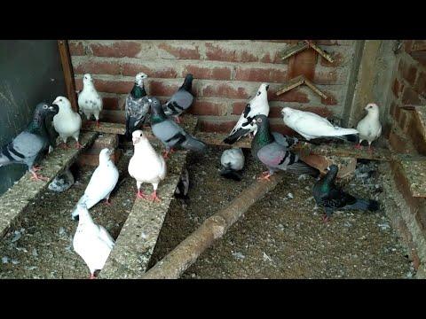 Xxx Mp4 High Flyer Madrasi Pigeons Loft In KOLKATA 3gp Sex