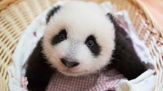 Cute Funniest Panda Videos Compilation 2017 || NEW HD