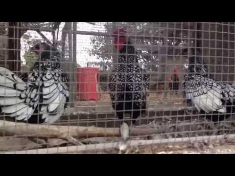 Gallos Navajeros Peru