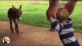 Baby Donkey Meets Baby Boy | The Dodo