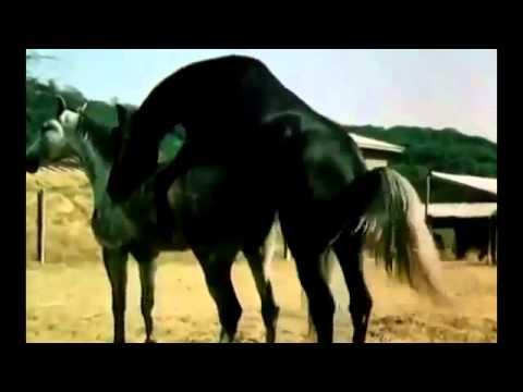 Animals Having Sex Breeding Reproducing Black stallion Horses Mating ~ Best Funny Animals 2014 You