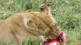 Lion eating fresh kill
