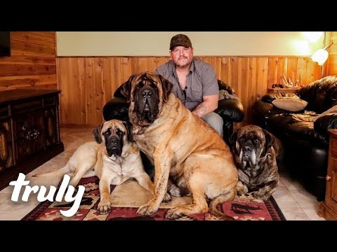 My Monster Mastiff Weighs 250lbs TRULY